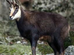 Interzis la vânătoarea de capre negre și ciocârlii, care vor fi din nou specii protejate. Străinii plăteau zeci de mii de euro pentru partide de vânătoare la noi în ţară 12