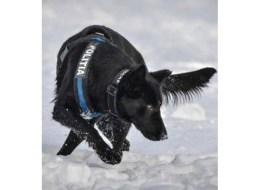 """El este câinele polițist care a prins autorul dublei crime din Satu Mare, în doar 4 ore. """"Mulțumim, TEBA! Doar 4 ore i-a luat acestui câine polițist să ajungă la criminal"""" 2"""