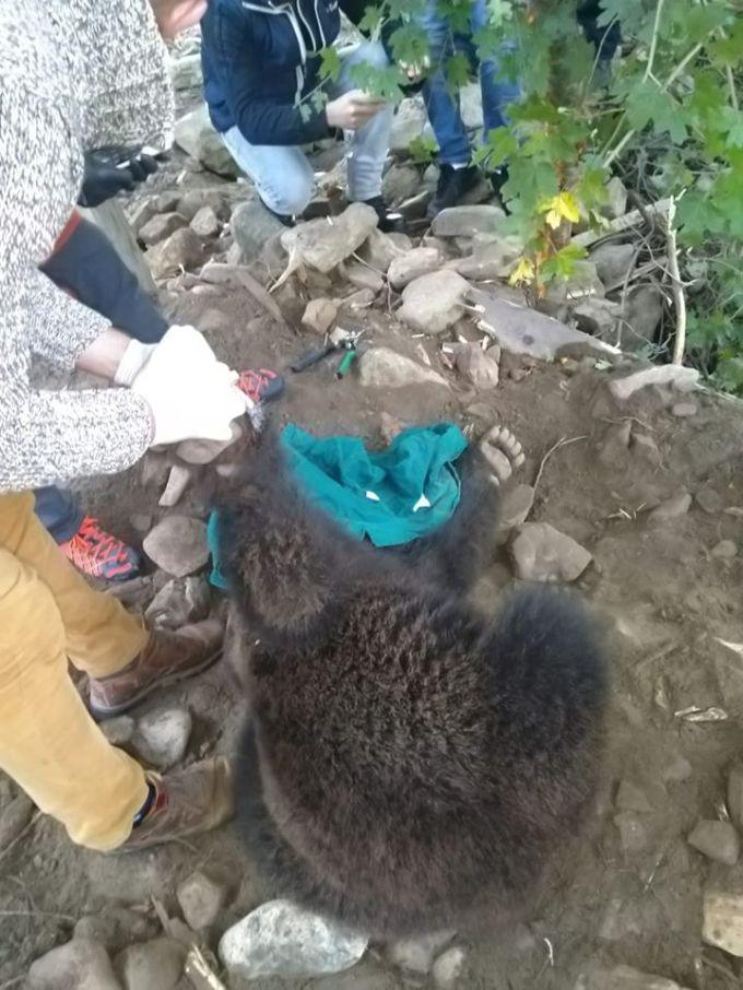 """(Foto) Caz grav de urs prins într-o capcană. Tiberius: """"O ursoaica bătrână a fost salvata de membrii organizației noastre, Dr. Szász István Endre si Berde Lajos, in cooperare cu Jandarmeria judeteana si Ocolul Silvic ! Le multumesc ..."""" 4"""