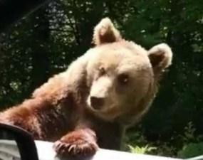 (Video) Ursoaică lovită intenţionat cu maşina de nişte turişti inconştienţi. Animalul voia doar să-şi hrănească puii. Reacție Wildlife România 3