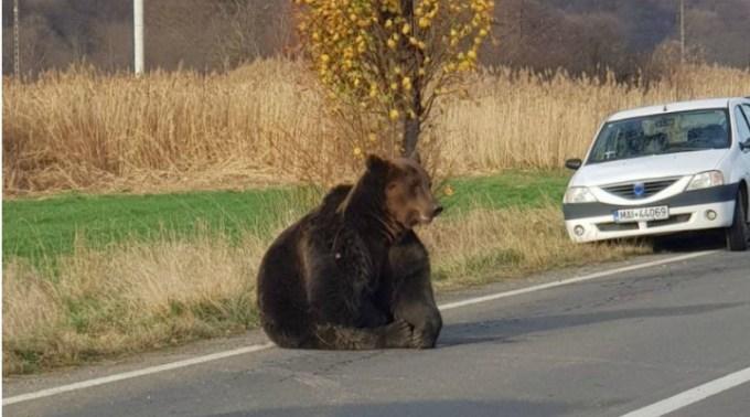 """Ursul în agonie. Stefan Mandachi: """"Ce dureri o fi suferit animalul ăsta în 17 ore, cu toate oasele fracturate, timp în care se aștepta un aviz absurd de la minister? În România, mentalitatea e că animalele stau bine doar în..."""" 1"""