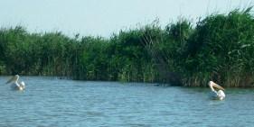 Delta Danube Pelicans