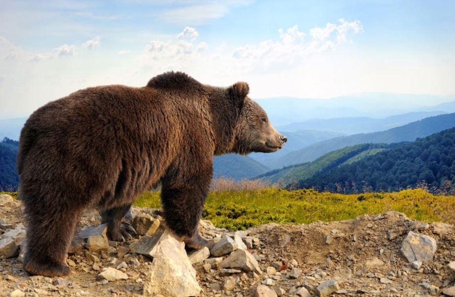 ce faci faca te ataca un urs
