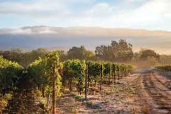 rocca-vineyard