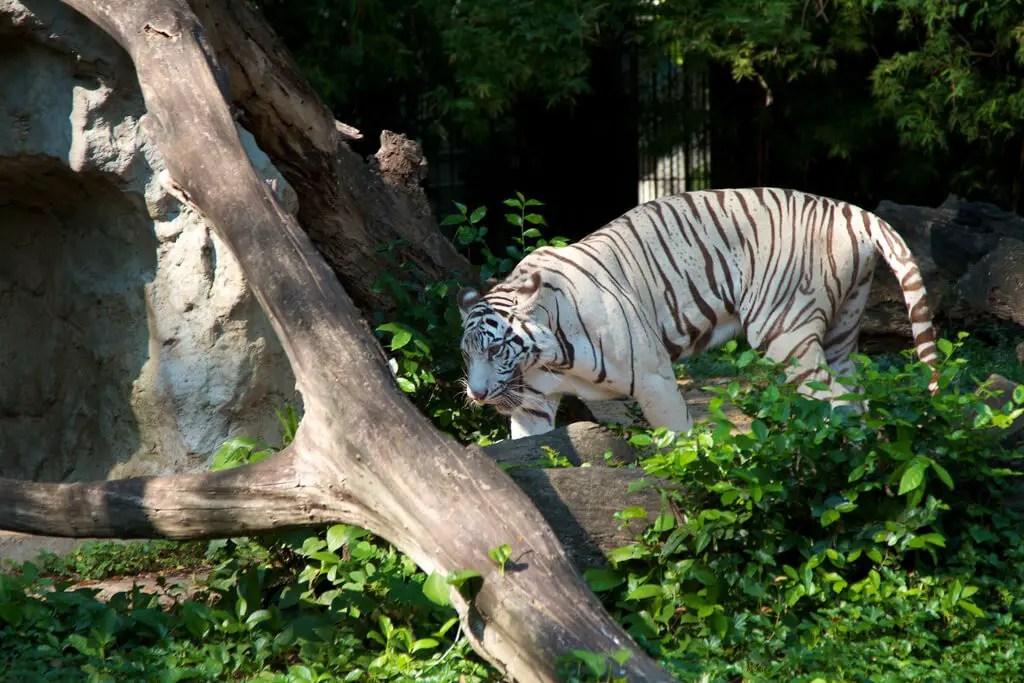 White Usurian Tiger in the Dusit Zoo in Bangkok