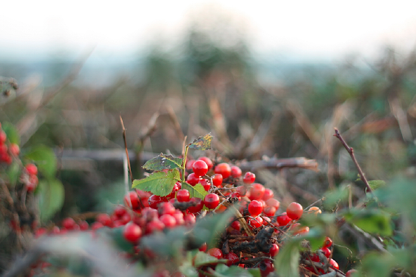 Berries in a hedge