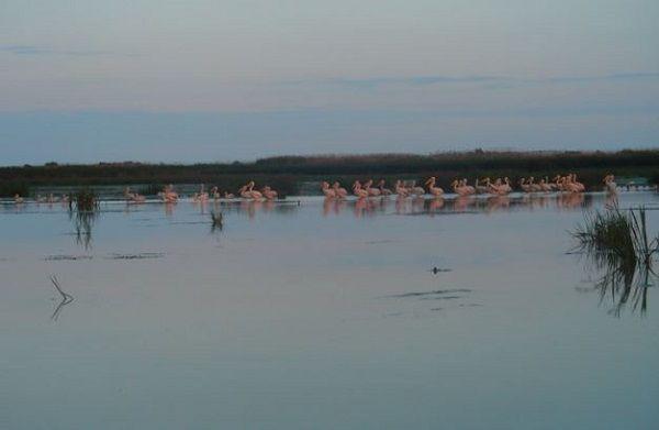 pelicans-musura-danube-delta