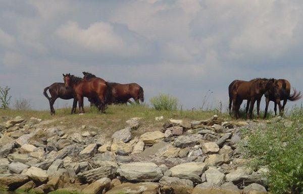 wild-horses-danube-delta