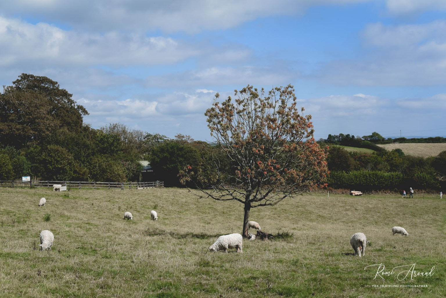 Field with sheep in the Lost Gardens of Heligan