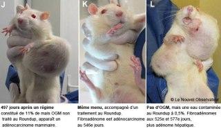 Studio di laboratorio su topi, mais OGM Monsanto