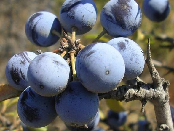 Un arbusto del Molise efficace contro il cancro: Prunus spinosa trigno
