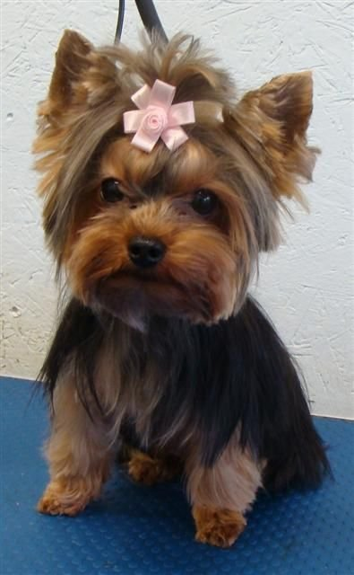 The Best The 25 Best Yorkie Short Haircuts Ideas On Pinterest Pictures