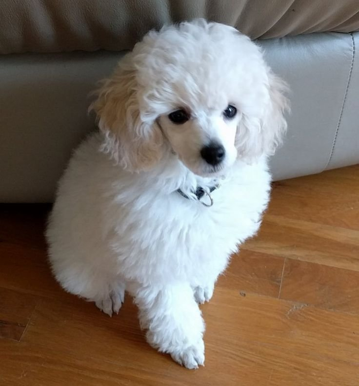 The Best Best 25 Toy Poodle Puppies Ideas On Pinterest Toy Maltipoo Toy Poodles And Toy Cockapoo Pictures