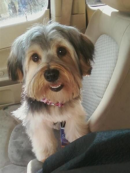 The Best Pin On Shorkie Love Pictures