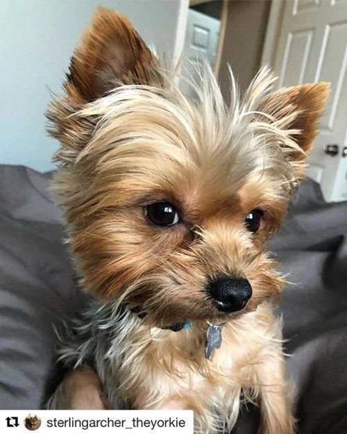 The Best Best 25 Yorkie Ideas On Pinterest Yorkshire Terrier Pictures