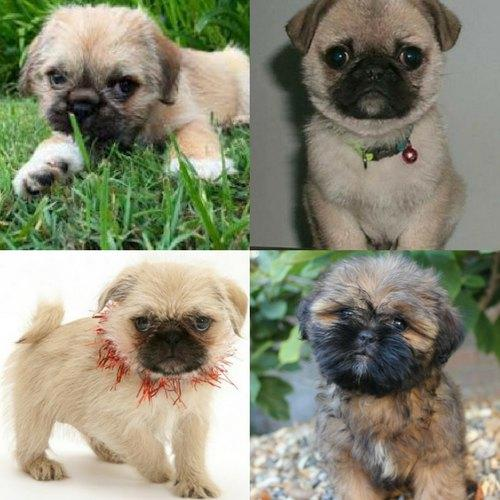 The Best Adorable Pug Cross Breeds Love Ambie Pictures