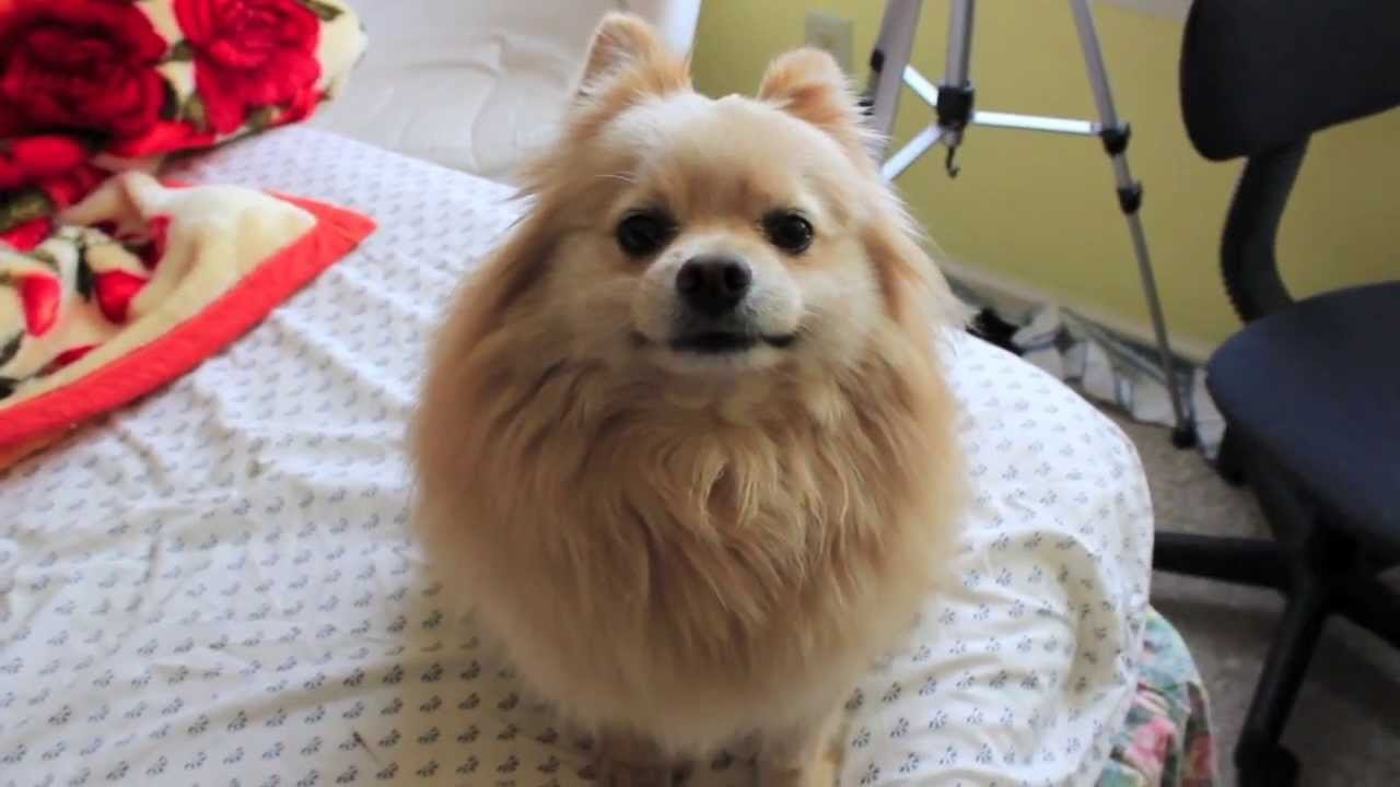 The Best Giving My Dog A Haircut Ddo Ri The Pomeranian Youtube Pictures