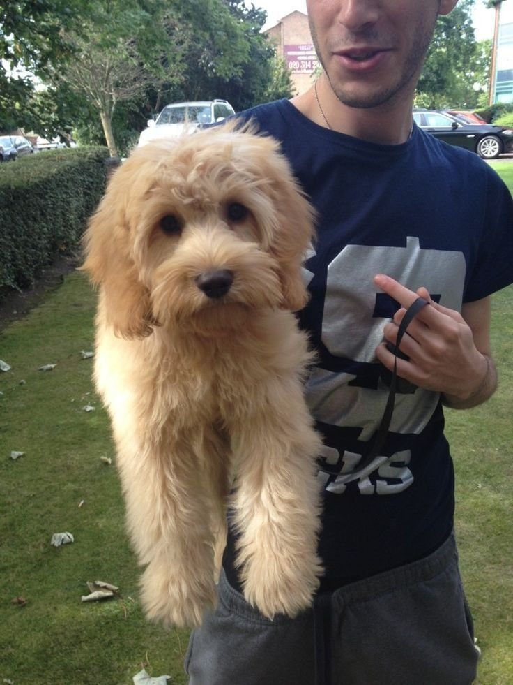 The Best Mini Australian Labradoodle Haircuts Google Search A N Pictures