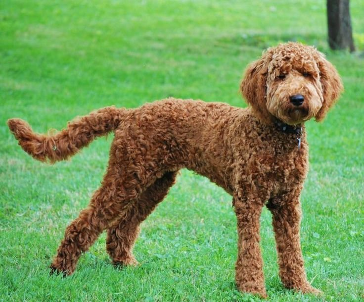 The Best Labradoodle Haircuts For Summer Do You Do A Summer Pictures