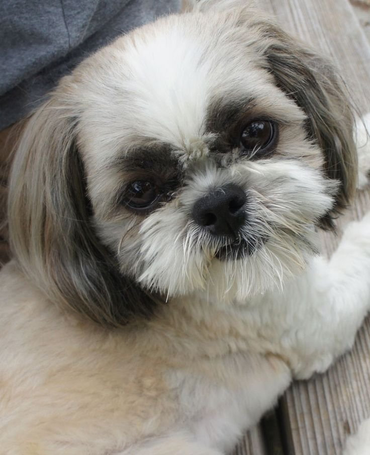 The Best 2323 Best Images About Shih Tzu Crazy On Pinterest Pictures