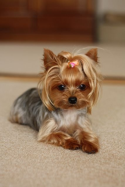The Best 15 Must See Yorkshire Terrier Haircut Pins Yorkie Pictures