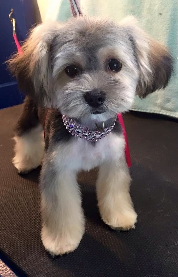 The Best Morkie Puppy Af … Pinterest Pictures