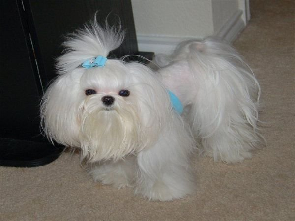 The Best Maltese Dogs 7 Popular Haircut Styles And Colors Pictures