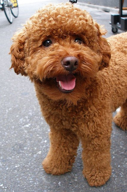 The Best Miniature Red Poodles For Sale Akc Poodles Toy Apricot Poodles Pictures