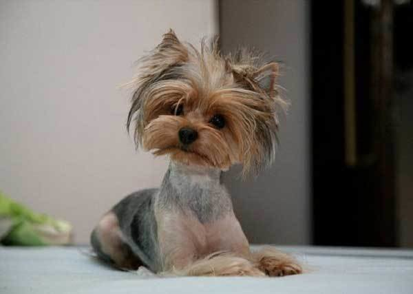 The Best 10 Cute Yorkie Puppy Photos Yorkiemag Pictures