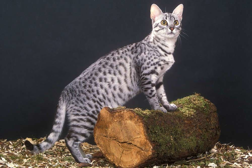 The Best Egyptian Mau Cat Cat Breeds Encyclopedia Pictures