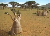 Socotra, Yemen V