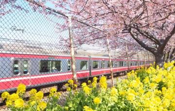 三浦海岸の河津桜と京急