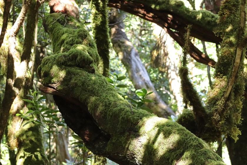 Laurierbossen Garajonay Nationaal Park op La Gomera
