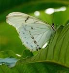 Witte Azuurvlinder