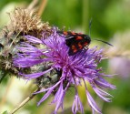 The six-spot burnet-3