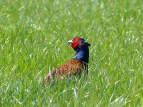 Fazant in het gras