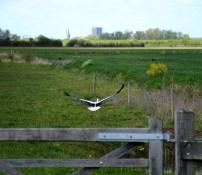 Ooijevaar/Stork