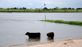 Galloway runderen staan in het water van de Waal.
