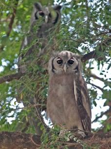 Verreaux's Eagle Owls