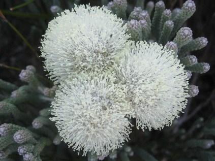Brunia sp.