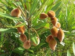 Wild Almonds