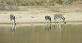 Zebra at the dam