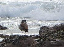 Egyptian Goose pretending to be a sea bird