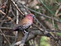 Pink Throated Twinspot