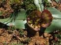 Colchicum coloratum