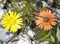 Othonia quinquedentata (top and bottom)