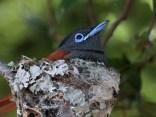 African Paradise Flycatcher on nest