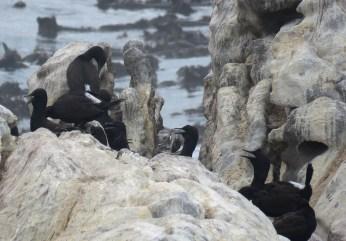 Bank Cormorants