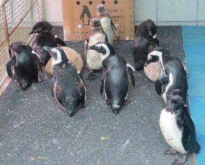 Rescued penguins