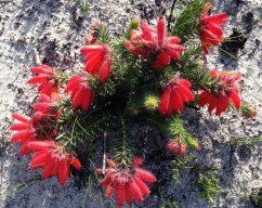 Erica ceranthoides